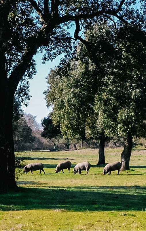 Iberico Schweine in einem nahgelegenen Biobauernhof